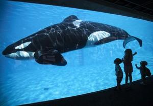 Una orca en el parque SeaWorld de San Diego (EEUU).