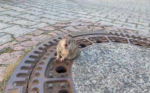 El exitoso rescate de una rata gorda en Alemania.