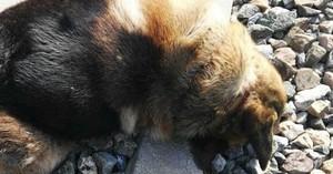 Trobats morts 20 gossos que havien sigut lligats a les vies del tren a Sevilla