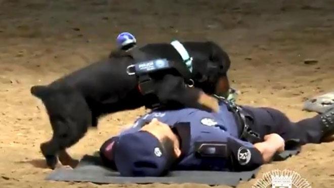 Poncho, el perro policía de Madrid capaz de realizar la maniobra de reanimación y comprobar el pulso de su dueño.