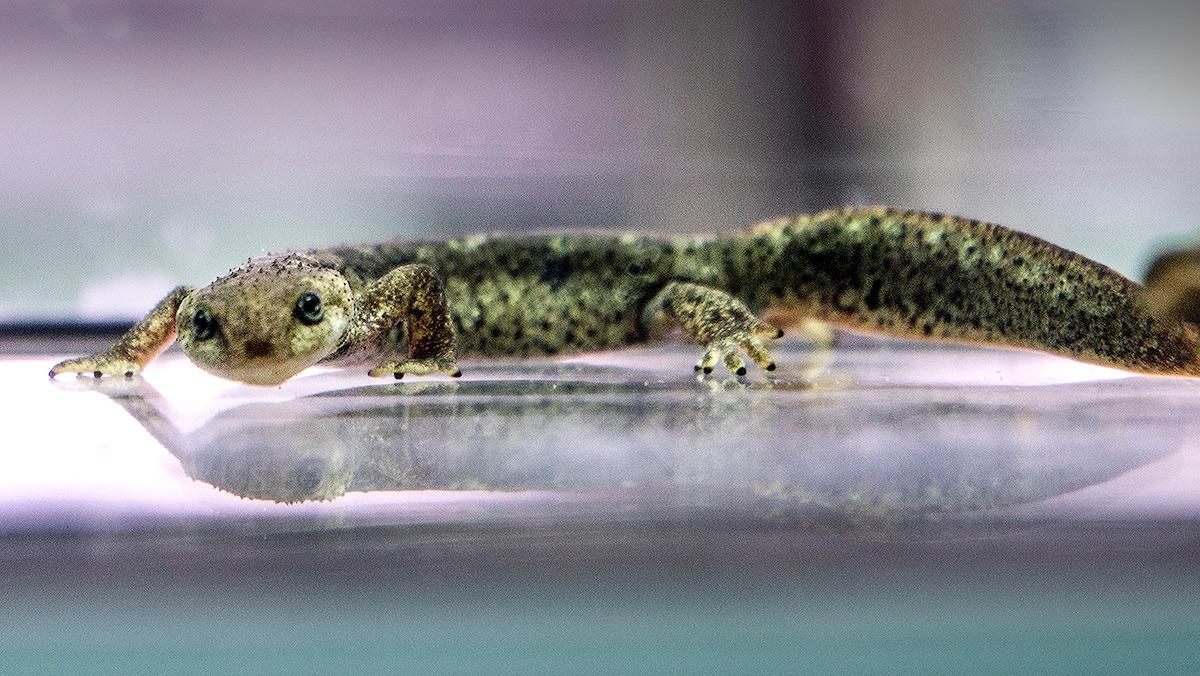 Manuel Aresté, responsable reptiles zoo, nos enseña la nueva instalación de tritones