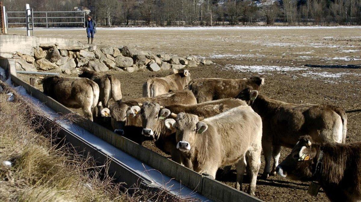 Una manada de vacasaparta el hielo del bebedero en busca de agua