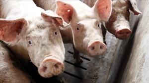 Cerdos en una granja.