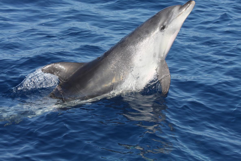 Cierran una playa francesa debido a un delfín sexualmente frustrado