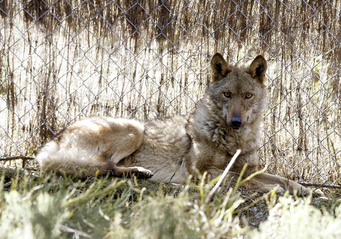 Un lobo, en una foto de archivo.