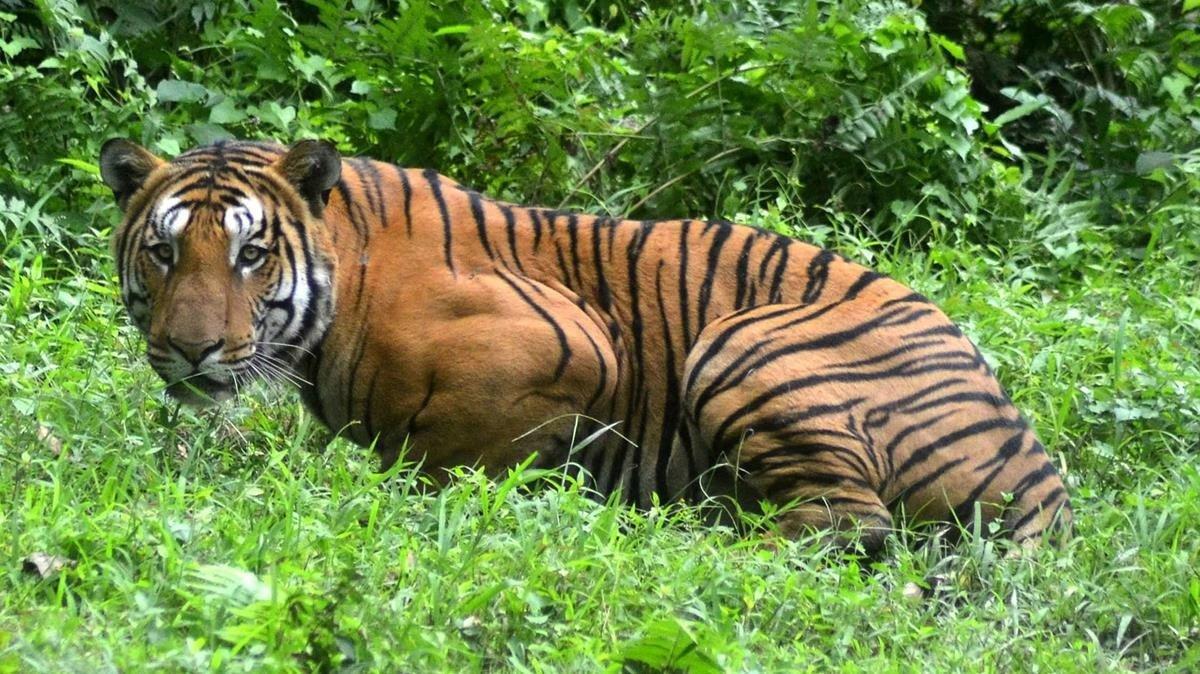 Un tigre ataca a trabajadora de zoológico en EU