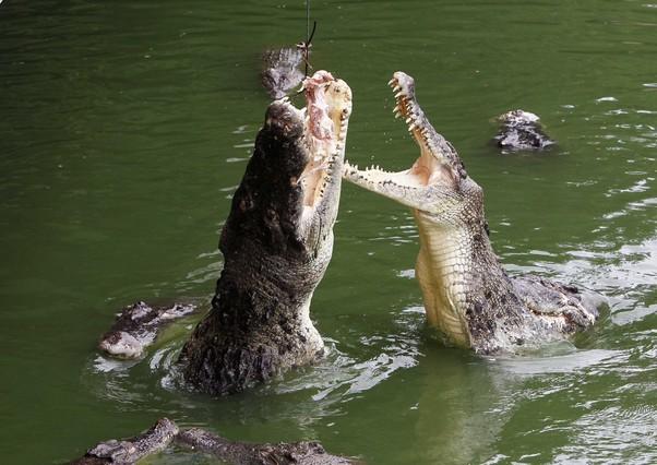 Unos cocodrilos saltan para alcanzar un trozo de comida en una granja de Pattaya (Tailandia).