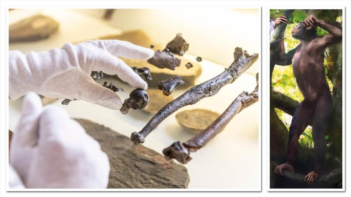 A la izquierda, fragmentos ósesos del esqueleto de un Danuvius guggenmosi. A la derecha, una reconstrucción de la especie.