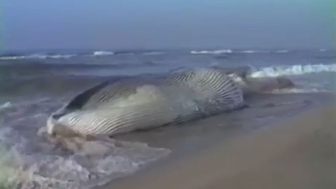 Llegada de una ballena a la playa de El Prat en 1983