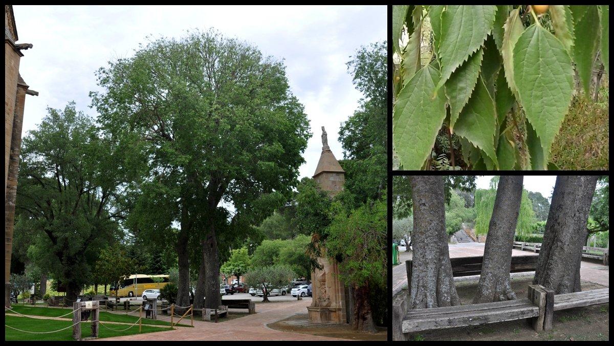 Los almeces o 'lledoners' del monasterio de Les Avellanes.