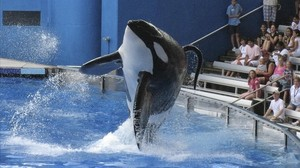 Mor Tilikum, l'orca captiva que va matar la seva entrenadora