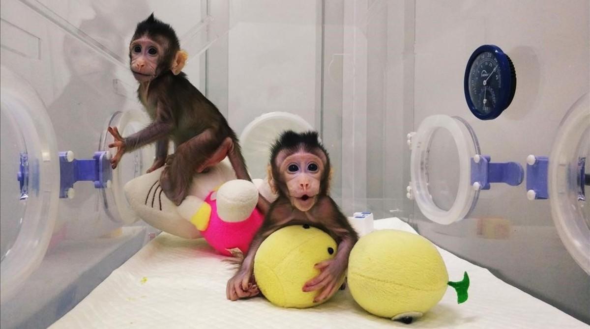 Los dos macacos clonados en China.