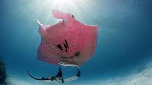 Un bussejador fotografia l'única manta gegant rosa del món