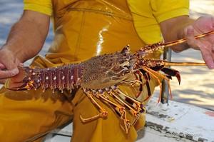 El restaurante Charlottes Legendary Lobster Pound prefiere colocar con marihuana a las langostas antes de cocinarlas.