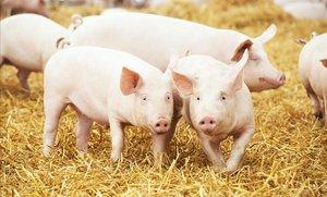 Científics proven en porcs un marcapassos que funciona sense piles