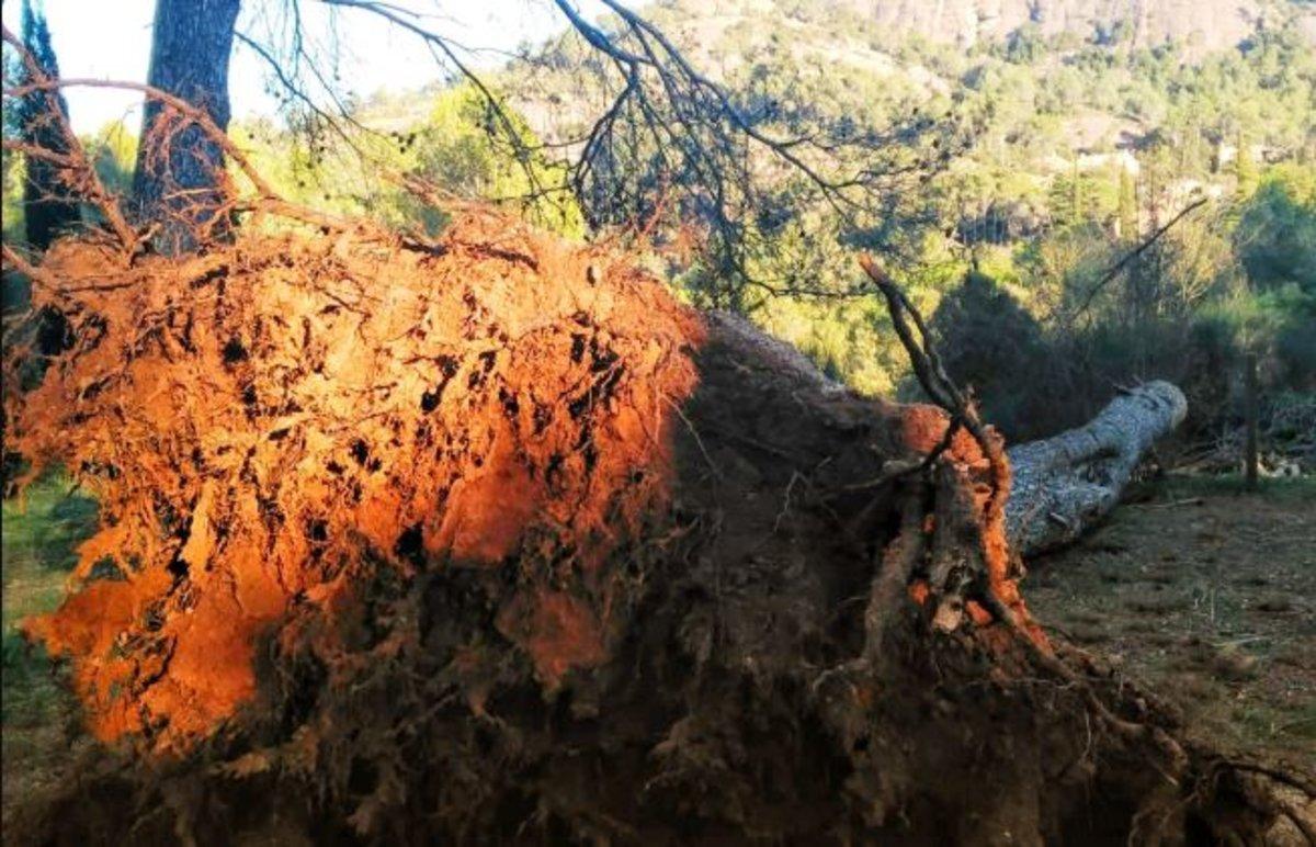 Árbol caído por el temporal 'Gloria'.