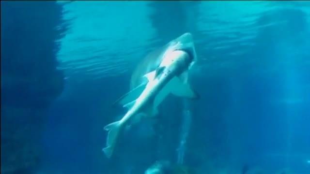 Un tiburón tigre se come a otro en un acuario de Seúl.