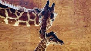 La famosa girafa April torna a donar a llum en directe
