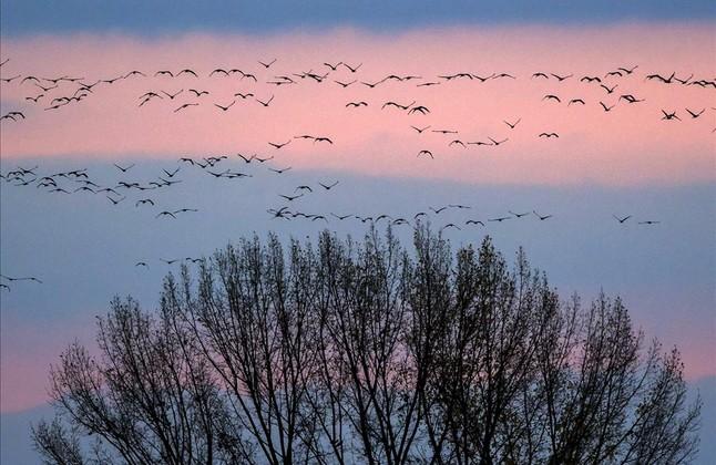 Grullas en migraciónvuelan sobre un árbol durante el atardecer cerca de Strausfurt, el centro de Alemania.