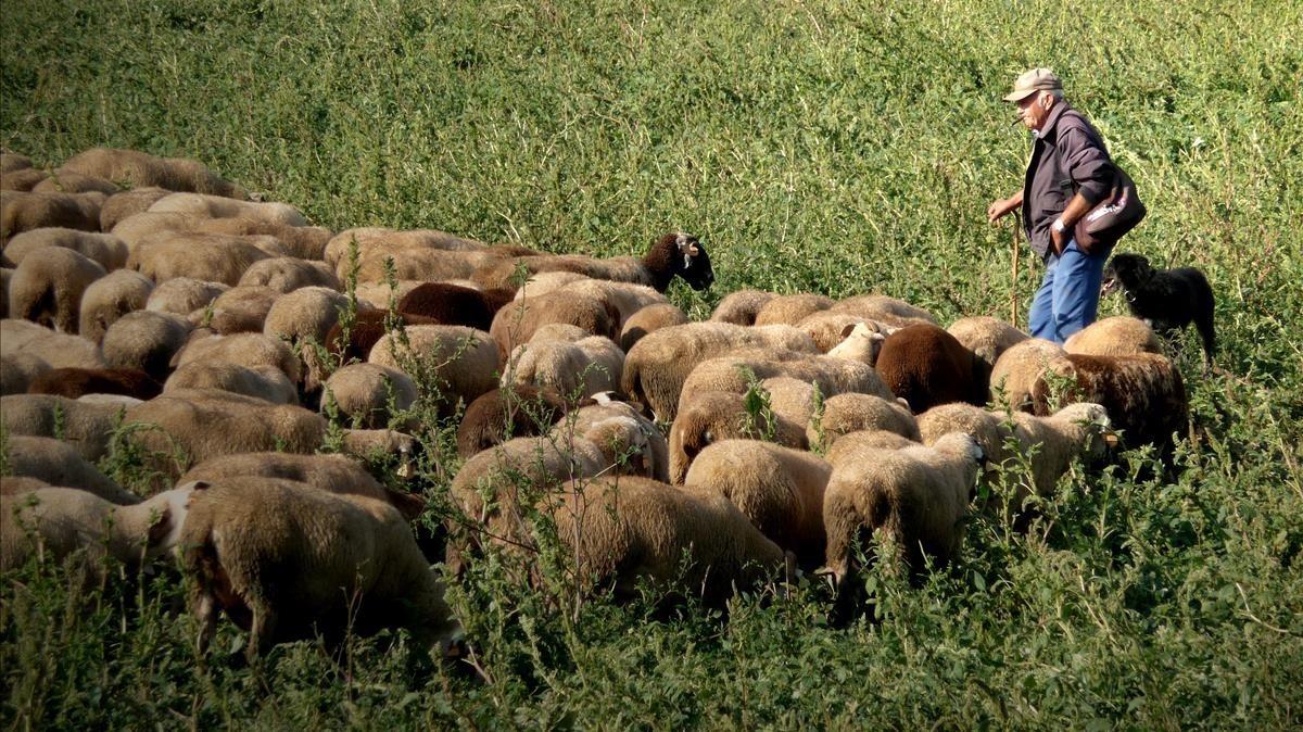 Un pastor con sus ovejas.
