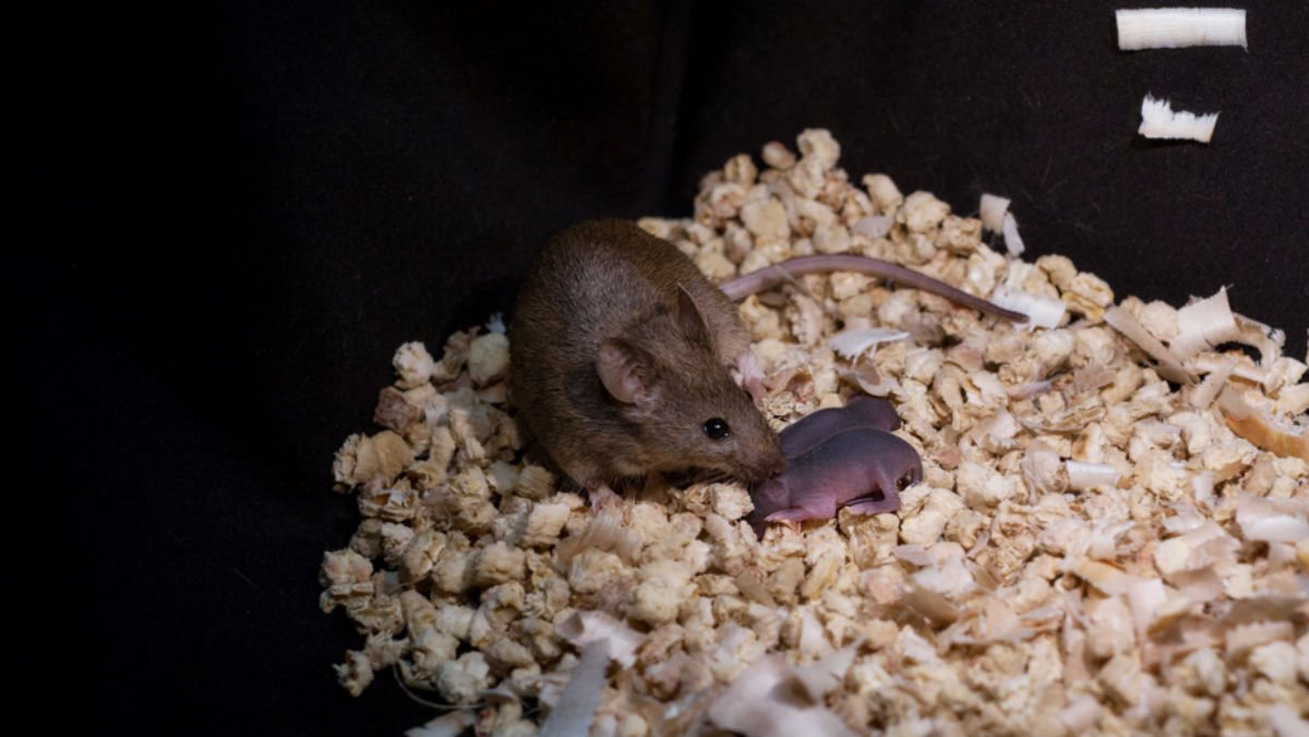 Ratona nacida de dos madres junto a sus crías