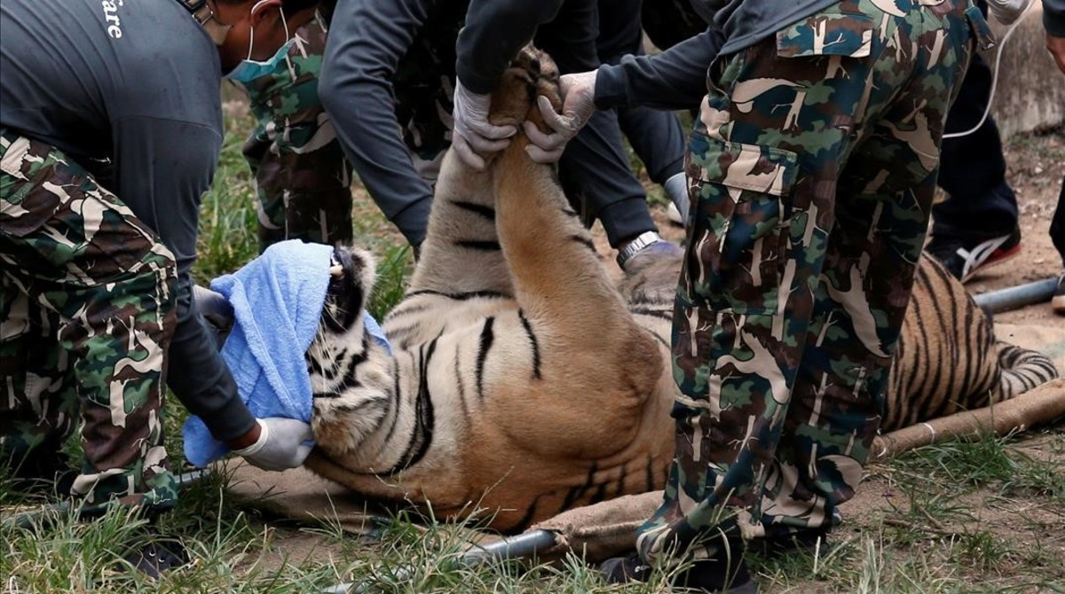 Un tigre sedado es trasladado fuera del templo tailandés acusado de maltrato y tráfico animal.