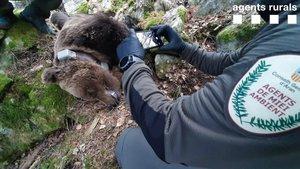 Entitats ecologistes dubten que l'os Cachou morís atacat per un altre os