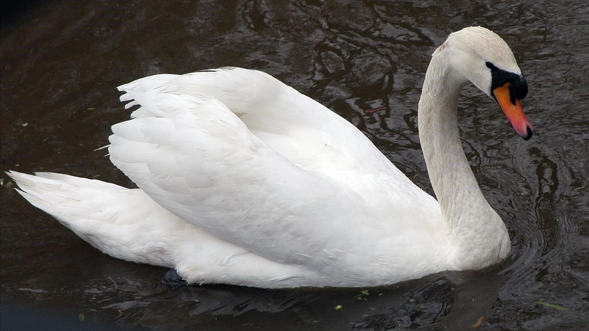 Un cisne en un parque urbano.