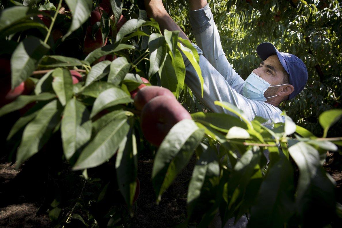 Temporeros trabajando en la recogida de la fruta en una finca de Aitona (Segrià), el pasado 3 de julio.