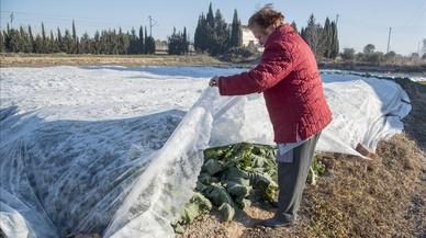 Una pagesa de la Horta de Sant Joan protege las verduras del frío.