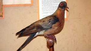 Ejemplar disecado de paloma migratoria conservado en el Zoo de Cinicinnati.