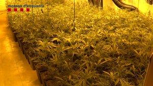 Una plantación de marihuana propiedad de una banda desarticulada por los Mossos en Barcelona, en una imagen de archivo.