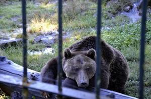 Uno de los osos en el recinto con barrotes de Arties, el pasado jueves.