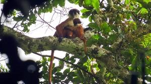Ejemplares de colobo de Bouvier fotografiados en el parque nacional Ntokou-Pikounda, en la República del Congo.