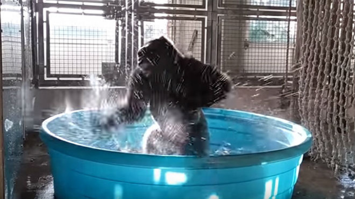 El gorila Zola, en una escena del vídeo que ha distribuido el Zoo de Dallas