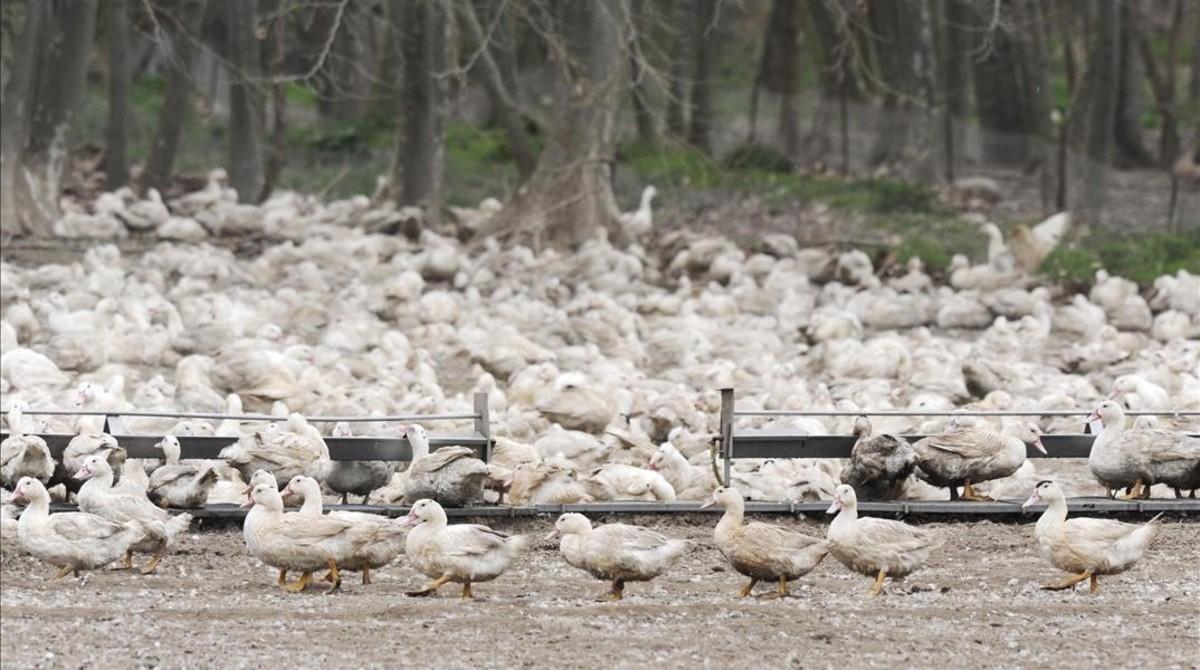 Granja de cría de patos en la comarca del Gironès.