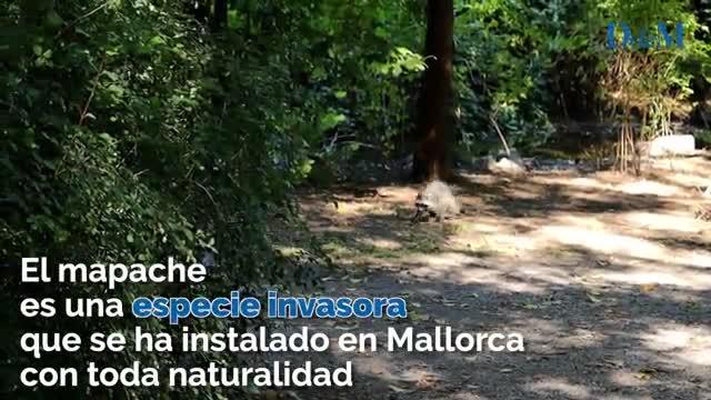 Mapaches en Mallorca
