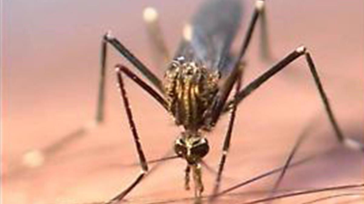 El mosquito 'Aedes japonicus'.