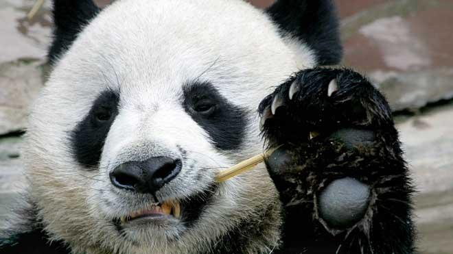 Mor Chuang Chuang: els tailandesos ploren al seu estimat os panda | Vídeo