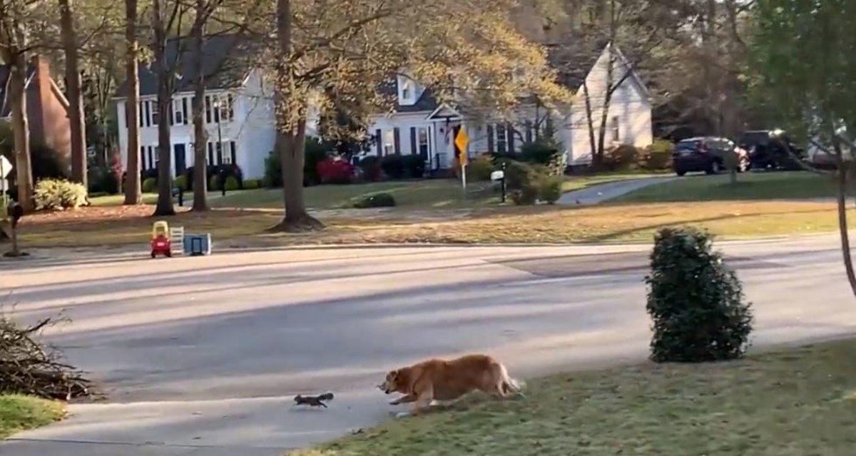 Vídeo: así escapó milagrosamente una ardilla del ataque de este Golden retriever