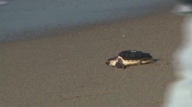 Alliberades al mar a Castelldefels 12 tortugues careta criades en captivitat