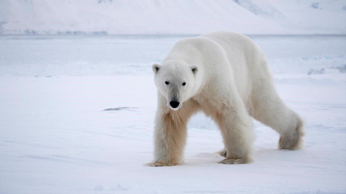 Oso polar con hambre trepa submarino nuclear en el Ártico (FOTOS)
