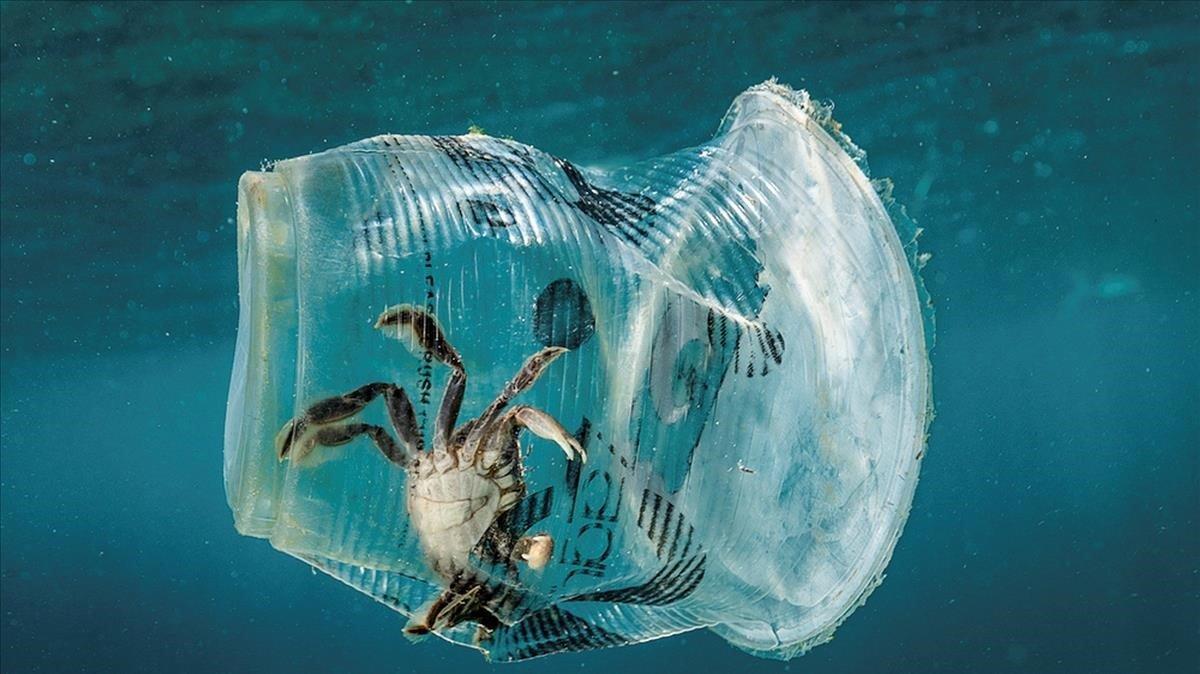 Un cangrejo atrapado en un vaso de plástico.