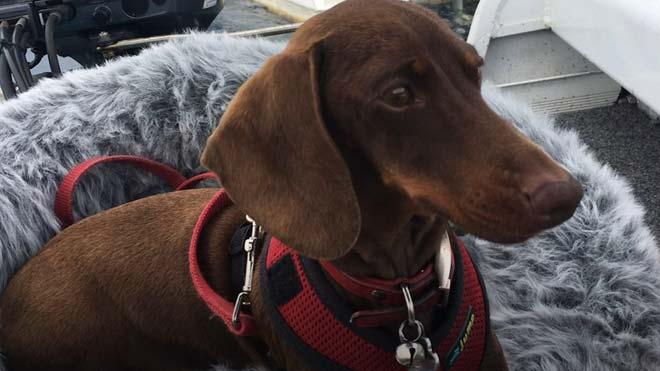 De Florida (EUA) a Sydney (Austràlia): l'odissea d'un gos per reunir-se amb la seva família