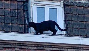 Una pantera es passeja al seu aire per una teulada a França