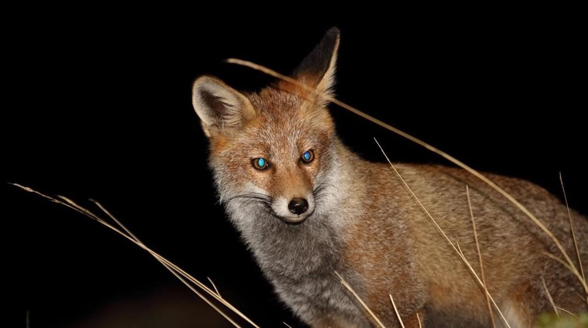 Un zorro fotografiado durante el estudio de la Universidad de Granada.