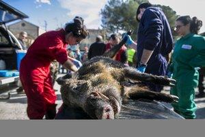 El actual brote de fiebre porcina africana que afecta a Asia oriental comenzó aparentemente en China.