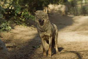 Un lobo.