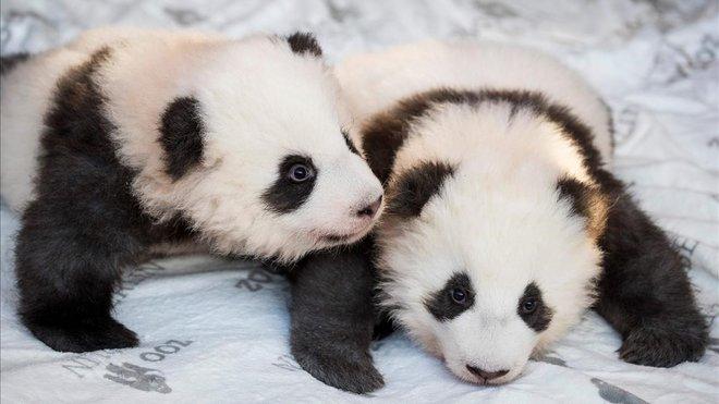 Los dos cachorros pandas nacidos en cautividad en el Zoo de Berlín.