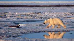 L'escalfament global podria fer que s'extingissin els ossos polars abans del 2100